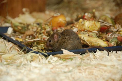 define creature comforts mouse removal and control macclesfield pest control