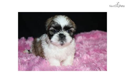 lhasa shih tzu mix for sale lhasa apso shih tzu mix 2 breeds picture