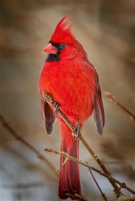 227 best images about cardinals on pinterest backyard