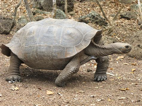 6 Reasons To Get A Tortoise by Galapagos Tortoise Next Door Zoo