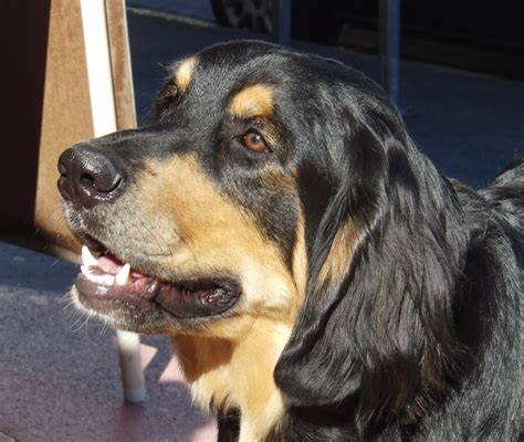 golden retriever and bernese mountain mix do you think you could just give them a clip they re so their air
