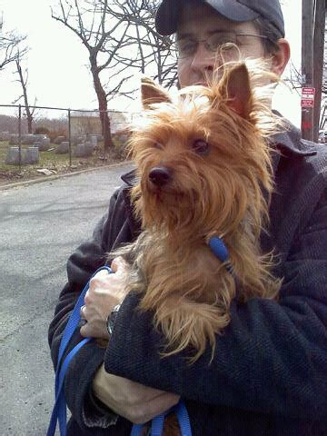 yorkie puppies in animal shelters yorkie animal shelter image search results