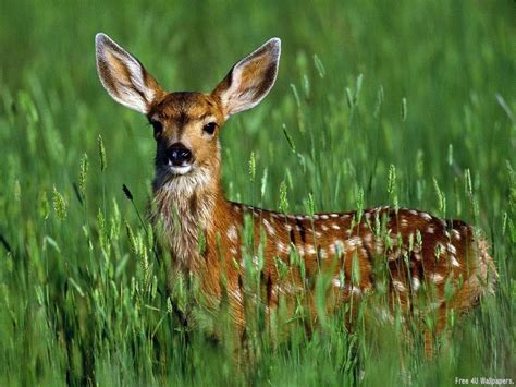 fawn images fawn animals wallpaper 2603084 fanpop