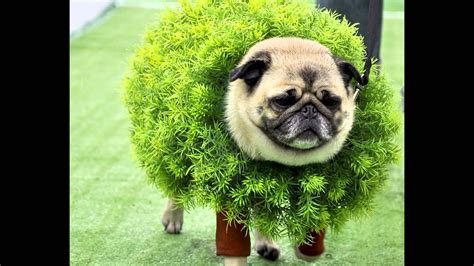 pugs are pugs are adorable no matter what but they re even more precious when they re in