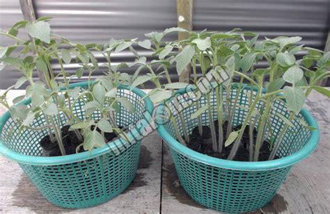 menanam jagung hidroponik 16 cara mudah menanam tomat hidroponik sederhana sistem