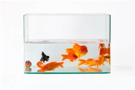 vasca pesce rosso dimensioni ottimali dell acquario per i pesci petyoo