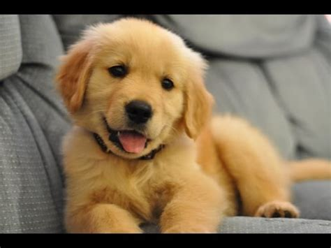 golden retriever image gallery golden retriever images