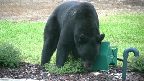 black bear in backyard black bear in backyard eating bird seed and berries youtube
