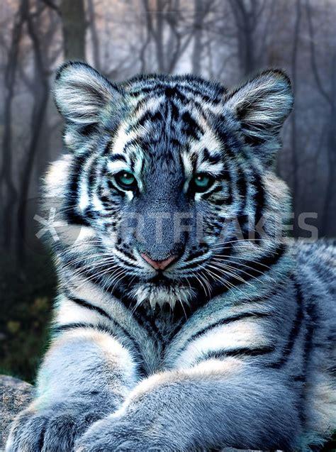Blue Tiger quot maltese tiger quot digital als poster und kunstdruck