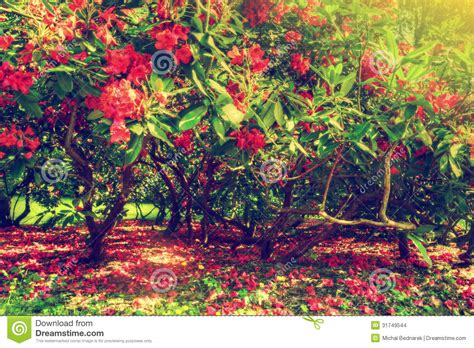 magnolia trees and flowers in park sun shining stock images image 31749544