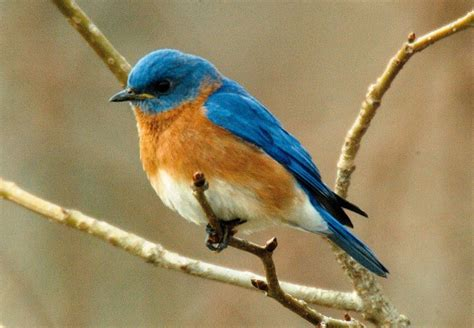 bluebird facts video search engine at search com