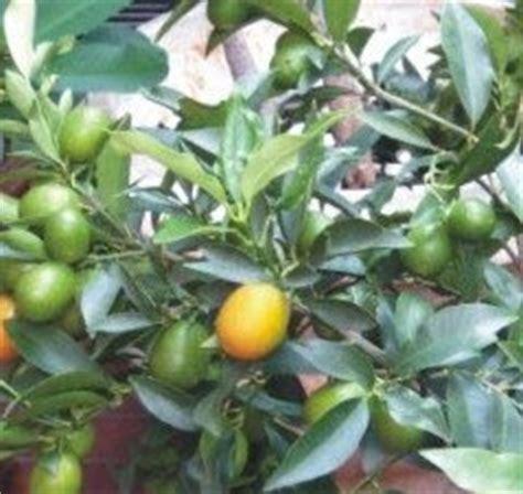 2 Bibit Tabulot Buah Unik Jeruk Nagami bambu kuning nature runy garden jeruk peruntungan jeruk mini jeruk imlek orange