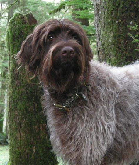 wirehaired pointing griffon puppy pin wirehaired pointing griffon on