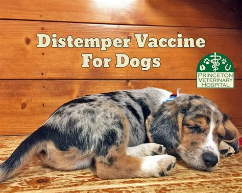 distemper for puppies 17 best images about preventative care on cats thunderstorms and cattle