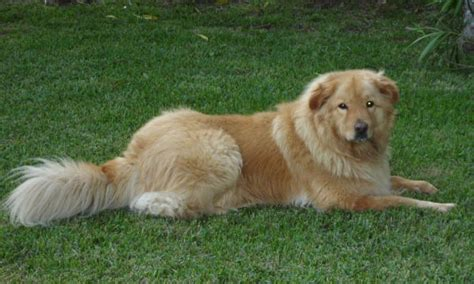 chow golden retriever mix golden chow golden retriever and chow chow mix spockthedog