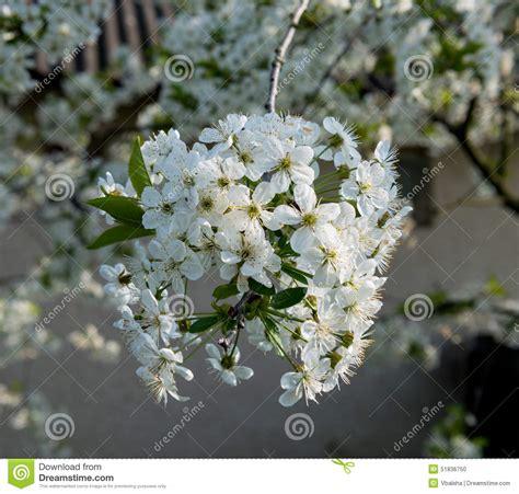 albero con fiori bianchi fiori bianchi albero gpsreviewspot