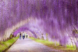 wisteria in japan 11 magical tree tunnels you should definitely take a walk