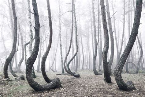 mysterious crooked forest in west pomerania poland poland s mystical crooked forest of oddly bent 400 bent