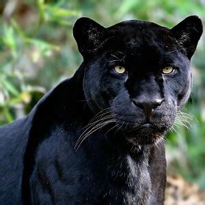 what color is a panther panther facts 20 amazing facts about panthers facts net