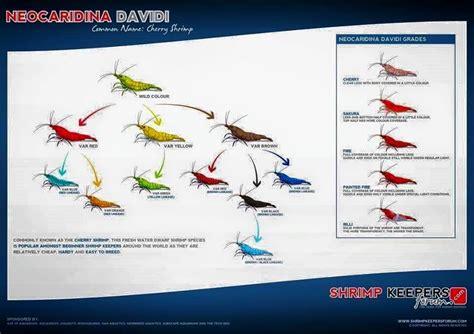 shrimp color shrimp neocaridina davidi color and grade guide similar
