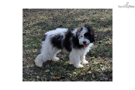 husky poodle mix puppies for sale pomeranian husky mix puppies for sale in mn breeds picture