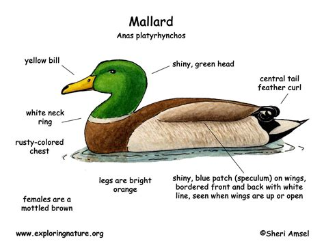 diagram duck anatomy diagram