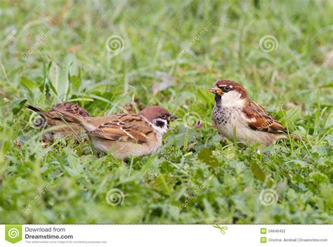 sparrow stock photography image 34846452
