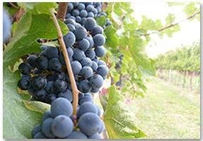 uva da tavola nomi umbria vini vigneti e produzioni vino