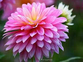 november flower 25 best ideas about november birth flowers on