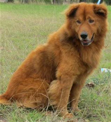golden retriever chow mix lifespan pet project happy dogs would be happier with homes san antonio express news