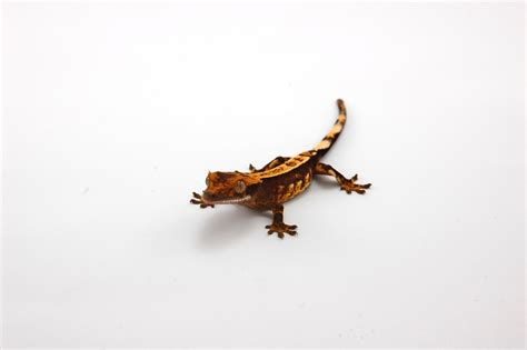 gecko change color crested gecko why do color change