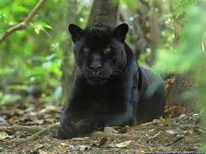 Is A Jaguar A Mammal 1000 Images About Black Panther Cats On Black
