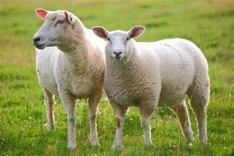 how to a sheep does my bad language offend any sheep 2sm network