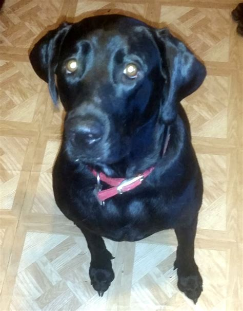 half rottweiler half lab allmutt pictures of mix breed dogs