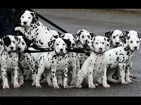 puppies for sale in rock dalmatian puppies dogs for sale in rock arkansas ar 19breeders