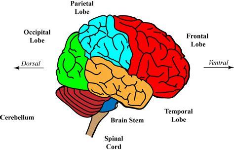 diagram of forebrain forebrain anatomy