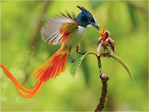 birds of paradise pictures facts characteristics