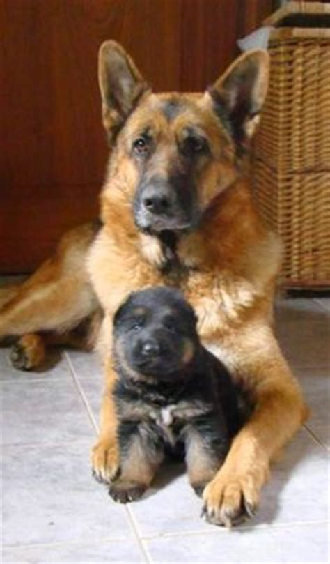 average cost of german shepherd puppy how much does a german shepherd puppy cost many