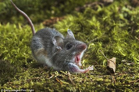 how do mice get in house can mice jump
