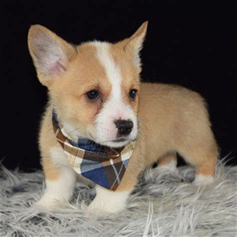 corgi puppies for sale nj corgi puppy for sale peanut puppies for sale in pa ny wv va nj