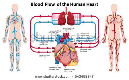 what color is blood inside the human diagram of the human stock images royalty free