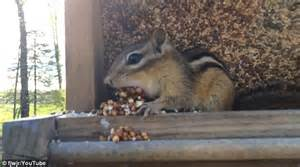 How To Keep Chipmunks Out Of Garden by How To Keep Chipmunks Out Of Garden Keeping Animal Pests