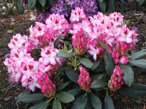 Rhododendron Flachwurzler by Rhododendron Hachmann S Charmant S Rhododendron