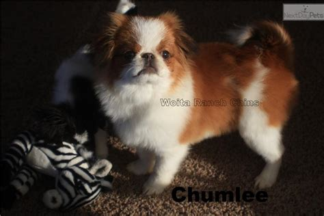 japanese chin puppies for sale near me japanese chin puppy for sale near grand island nebraska 945dddf1 fb11