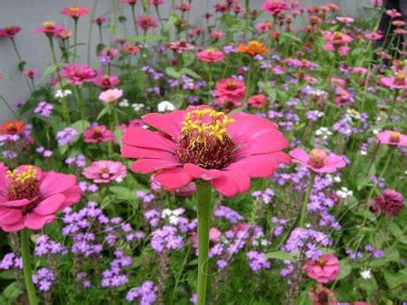 zinnia fiore zinnia fiore 1794 pollicegreen