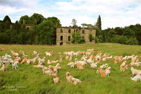 Grcs Golden Retriever Club Of Scotland