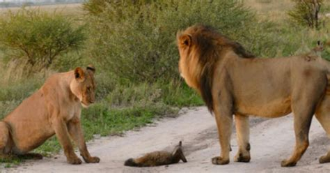 difference between lion and lioness difference between lion and lioness difference between
