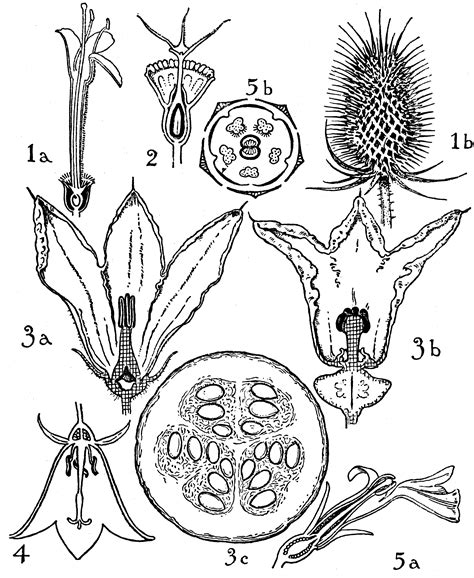 floral diagram of cucurbitaceae orders of dispsacaceae cucurbitaceae and canulaceae