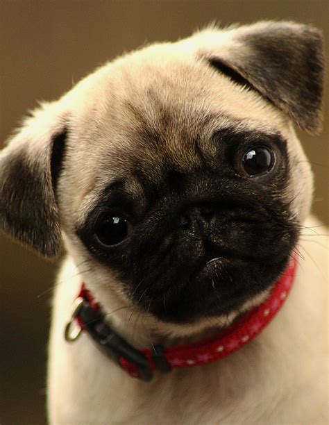 adorable pug puppies pug puppy pugs