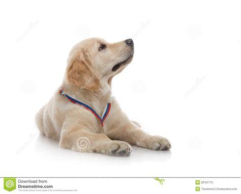 3 months golden retriever three month puppy golden retriever royalty free stock photo image 26761775